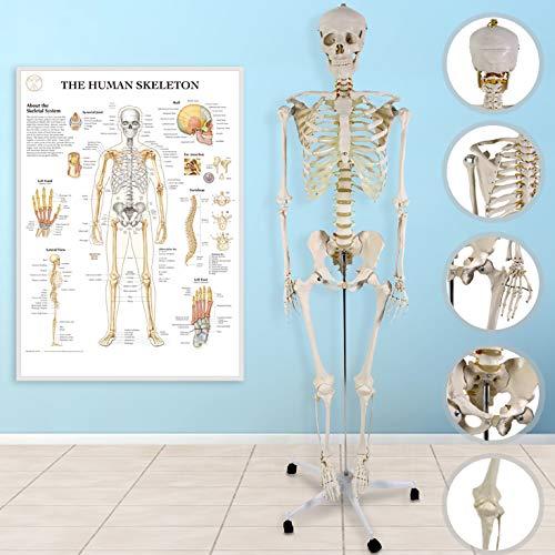 Anatomie Skelett 181.5 cm   inkl. Schutzabdeckung, Standfuss und Lehrgrafik Poster   Lebensgroß Menschliches Modell mit Ständer, Lehrmittel, ()