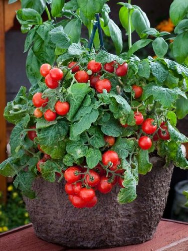 premier-seeds-direct-tomato-red-robin-includes-100-seeds