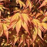 Acer palmatum var.katsura - Arce japones palmeado Maceta de 3Litros - 20/40cm de altura