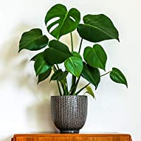 You Garden Limited Monstera deliciosa (Swiss Cheese Plant) in 14cm Pot 50cm Tall Houseplant, Green