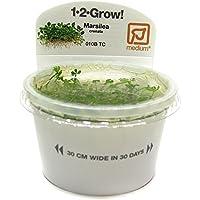 Tropica Marsilea Crenata 1–2-grow Tissue Culture in vitro planta para Acuario Camarón Safe & Caracol libre