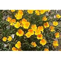 FES Quintessentials Flower Essences Services California Poppy 30ml Dosage by Natures Wisdom preisvergleich bei billige-tabletten.eu