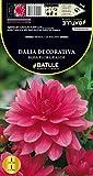 Semillas Batlle 075805Bols - Bulbo Dalia Decorativa Rosa, Flor Grande
