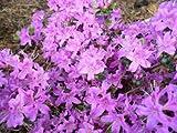 Japanische Azalee Rhododendron obtusum Diamant -R- himmelblau 25 - 30 cm breit im 2 Liter Pflanzcontainer