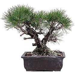 Bonsai - Pinus thunbergii 'Corticosa', Korkrindige japanische Schwarzkiefer 191/67