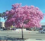 Tabebuia heterophylla- rosaer Trompetenbaum exotischer Blüte weißen Zeder, 10 Samen