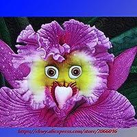 Green Seeds Co.. el Mundo más Raro bebé Cara orquídea perenne Flor bonsais, Paquete Profesional, 100pcs / Pack, Bonsai Garden nuevos bonsáis