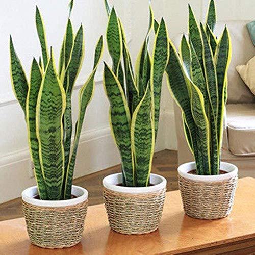 AGROBITS 10PcsBonsai Sansevieria Succulents Snake Fresh Air Home Garten - Home-air