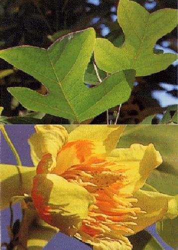 TROPICA - Tulpenbaum (Liriodendron tulipifera) - 20 Samen