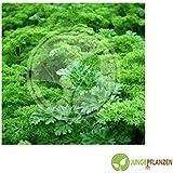 Semillas de hierbas - Perejil / Petroselinum crispum - diferentes variedades(Volar colores)