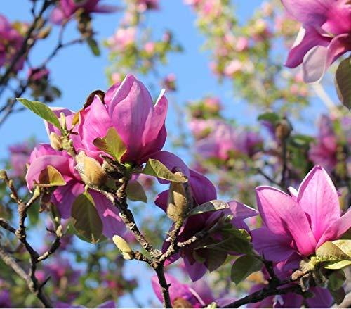 Dehner Tulpen-Magnolie Genie, purpurfarbene Blüten, ca. 40-50 cm, Ziergehölz