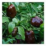 Snack Paprika - Mini Blockpaprika für Balkon und Terrasse - süß und mild - Mini Bell chocolate - 20 Samen