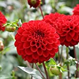 Flower Seeds : Flower Seeds – Dahlia Pompon Scarlet Red Flower Seeds – Kitchen Garden Pack by Creative Farmer