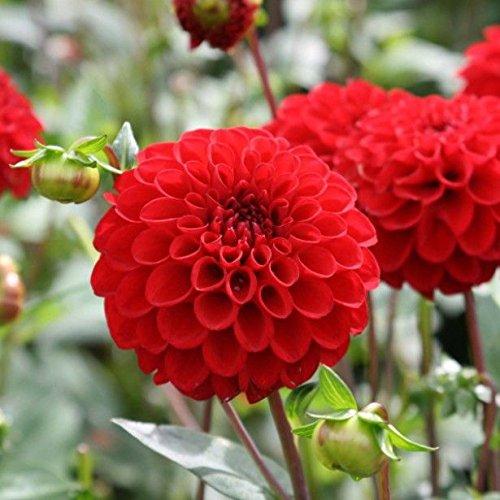 Flower Seeds Dahlia-Pompon Scarlet Red Flower Seeds ForBeginners-100 Seeds by Creative Farmer
