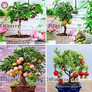 4 Arten von Obst Samen Bonsai Kirsche Birne Granatapfel Gesunde Bio-Fruchtsamen Staudentopfpflanze für Hausgarten