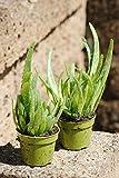 Echte Aloe Vera, üppige Pflanzen,ca. 30 cm Gesamthöhe (4 Pflanzen)