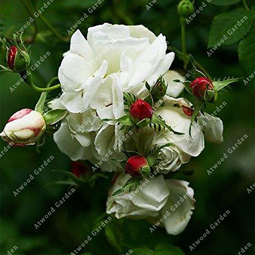 ZLKING 100Pcs Fleurs Rose Bonsai frais Graine belle plante exotique Accueil Jardin Vivaces Décorés Flowe Haute Germination Tarif 3
