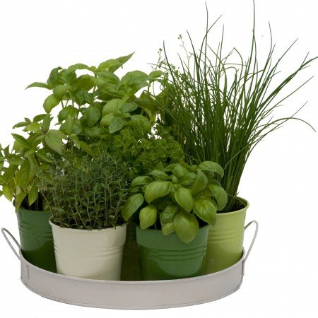 Plateau 7 herbes aromatiques