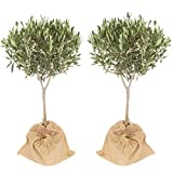 Pair Mini Standard Olive Trees 50-55cm with a Hessian Outer Sack