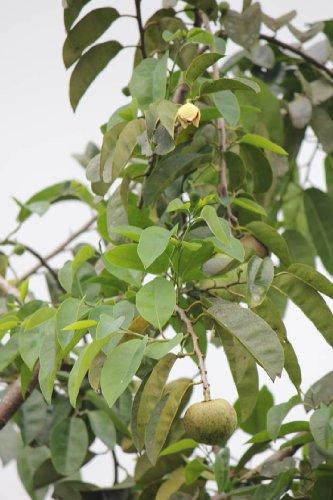 Annona Glabra Teichapfel Pond Apple 5 Samen