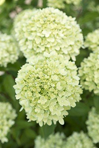 Rispenhortensie Hortensie - Hydrangea paniculata 'Little Lime'® (30-35cm - 3ltr.)