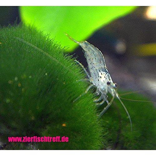 Zierfischtreff.de 10 x Amanogarnele - Caridina multidentata BZW. Japonica der wahrscheinlich Algenvernichter für jedes Aquarium - Algenfresser für Aquarium