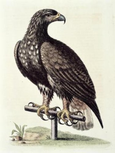 White-Tailed Eagle From Hudson's Bay (White-tailed Eagle)