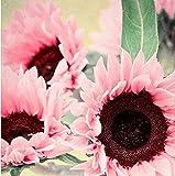 Lamdoo liebenswert Blume duftenden duftenden Blüten Garten Yard Sonnenblumenkerne (Pink)
