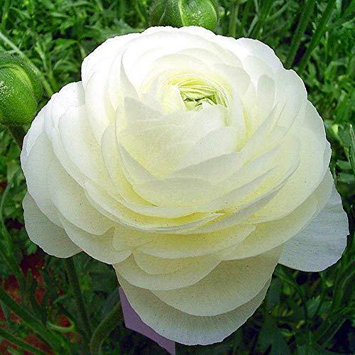MEIGUISHA Gartensamen - 20 pcs Selten Gefüllte Ranunkeln Blütenmeer winterhart mehrjährig Blumensamen für Garten Topfpflanze