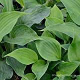 Funkie, Hosta sieboldiana 'Blue Angel'