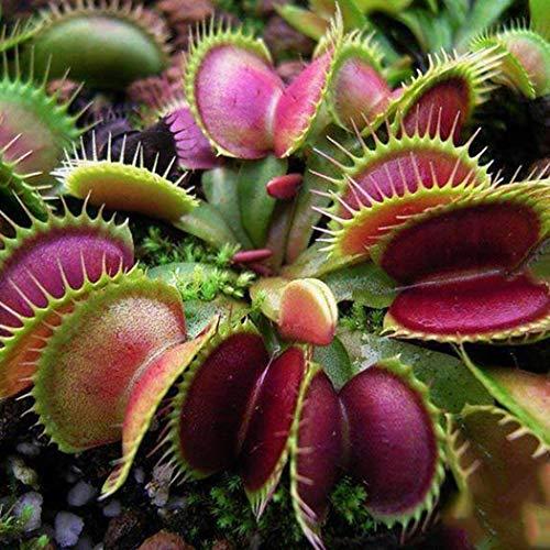 Teaio Samen - 30 PCS Venusfliegenfalle Samen Fleischfressende Pflanzen Samen Mehrjährih Samen Garten Saatgut Bonsai Samen Mehrjährig Pflazen Samen