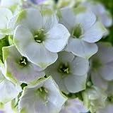 lichtnelke - Flammenblume (Phlox paniculata) Jade