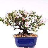 Bonsai–Jap. sats Uki azalee 'Hi de no de Maru', Rododendros Indicum 183/64