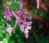 10 Samen von Blut-Johannisbeere - Red Flowering Currant