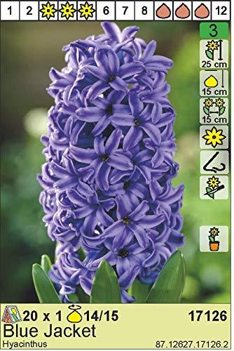 """Hyazinthe – Hyacinthus orientalis"""" Blue Jacket"""" (3)"""