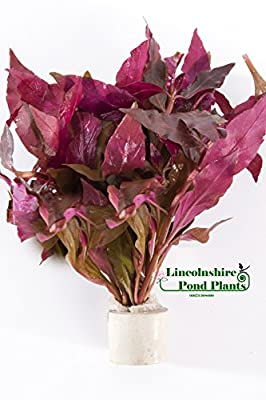 Alternanthera cardinalis - Tropical aquarium plants - Oxygenating plant ...
