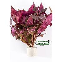 Alternanthera cardinalis - Tropical aquarium plants - Oxygenating plant …