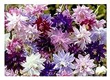 20x Akelei Granny's Bonnets mix-Samen Garten Pflanze Saatgut KS5