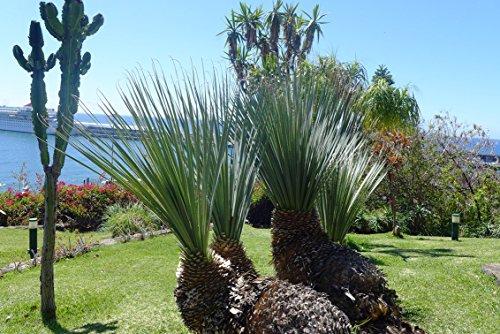 Dasylirion serratifolium 50-60 cm gesägter Rauschopf Mexikanischer Grasbaum
