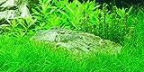 1x Weighted ramo Eleocharis Parvula enano pelo planta alfombra
