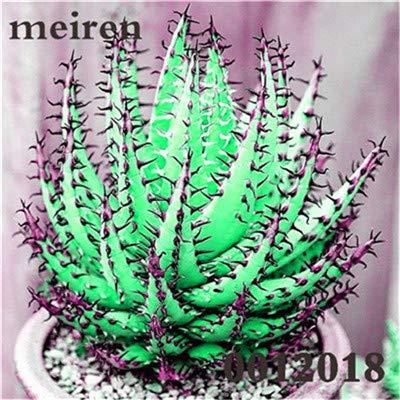 Plentree Pacchetto semi: 100 pezzi Succulente Aloe Bonsai Rare Polyphylla rotazione Aloe Vera regina Bonsai Piante grasse per la casa e amp; Giardino: 6