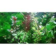 35 plantas de acuario en vivo colección de plantas acuáticas para su tanque de peces - Plantas de acuario