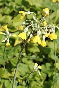 2er-Set - Primula florindae - Tibetprimel - Schlüsselblume, gelb - Wasserpflanzen Wolff
