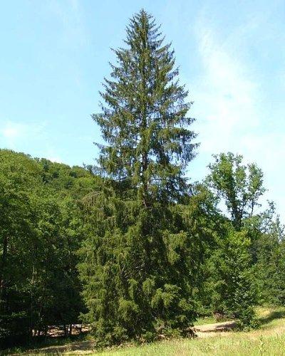 100 Samen -Gemeine Fichte- (Picea abies)