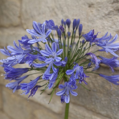 hardy-agapanthus-africanus-blue-4l-plant