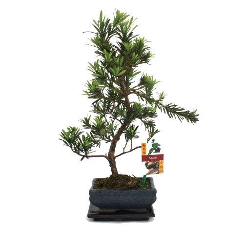 Bonsai Steineibe - Podocarpus macrophyllus - ca. 6 Jahre