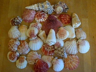 Assorted Seashells Set of 2 Bags 600g Nautical Sea Shell Seaside Decor Shabby Chic approximately 70 shells