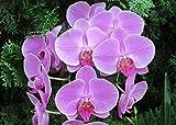Moth orchids: Phalaenopsis