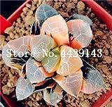IDEA HIGH Seeds-200 Pcs/Lot Bonsai Büro Schreibtisch Blumen Yulu Pseudotruncatella Stein Viva Lithops Sweatshirts Bonsai Anti-Strahlung Luftreinigung: 17