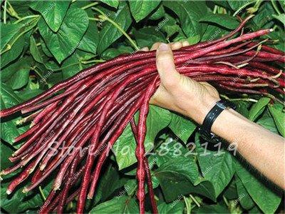 10 Pcs Multi Color long haricots Graines santé Graines de légumes biologiques, la croissance naturelle pour jardin délicieux Bon savoureux 12